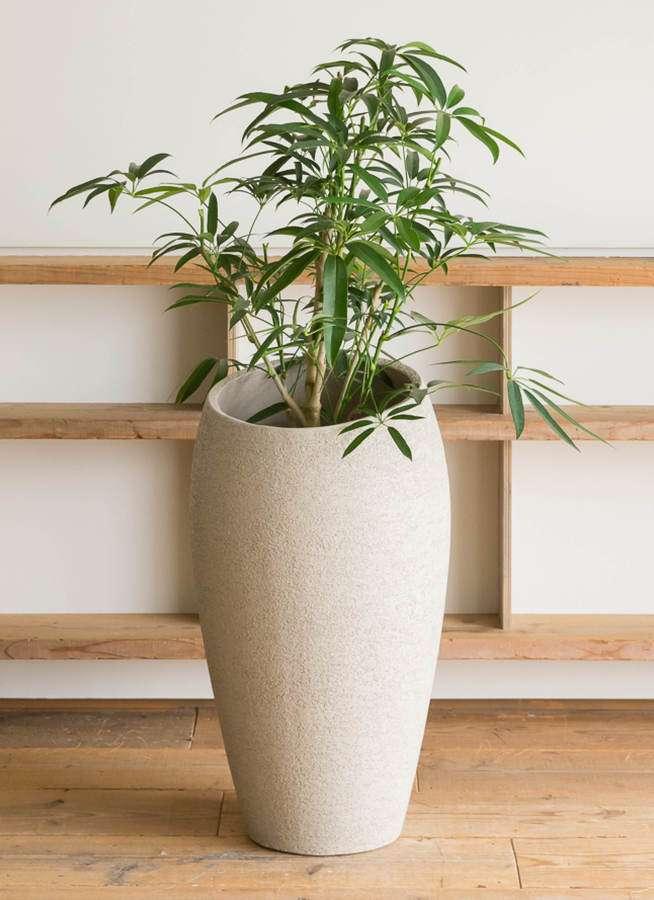 観葉植物 シェフレラ アンガスティフォリア 7号 ボサ造り エコストーントールタイプ Light Gray 付き