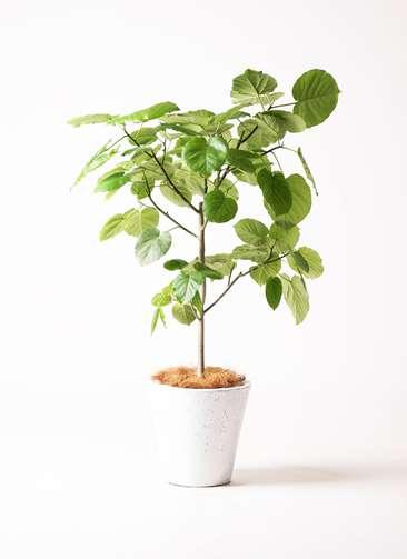 観葉植物 フィカス ウンベラータ 8号 フォリオソリッド 白 付き