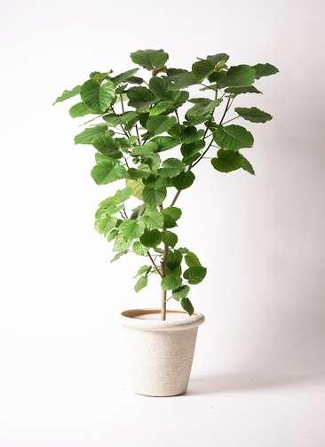 観葉植物 フィカス ウンベラータ 10号 ビアスリムス 白 付き