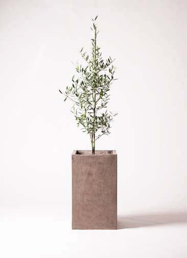 観葉植物 オリーブ コロネイキ8号 セドナロング グレイ 付き