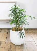 観葉植物 シェフレラ アンガスティフォリア 7号 ボサ造り エコストーンwhite 付き