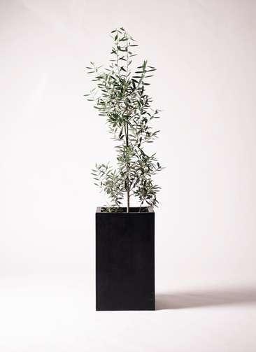 観葉植物 オリーブ 8号 チプレッシーノ セドナロング 墨 付き