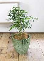 観葉植物 シェフレラ アンガスティフォリア 7号 アビスソニア ミドル 緑 付き