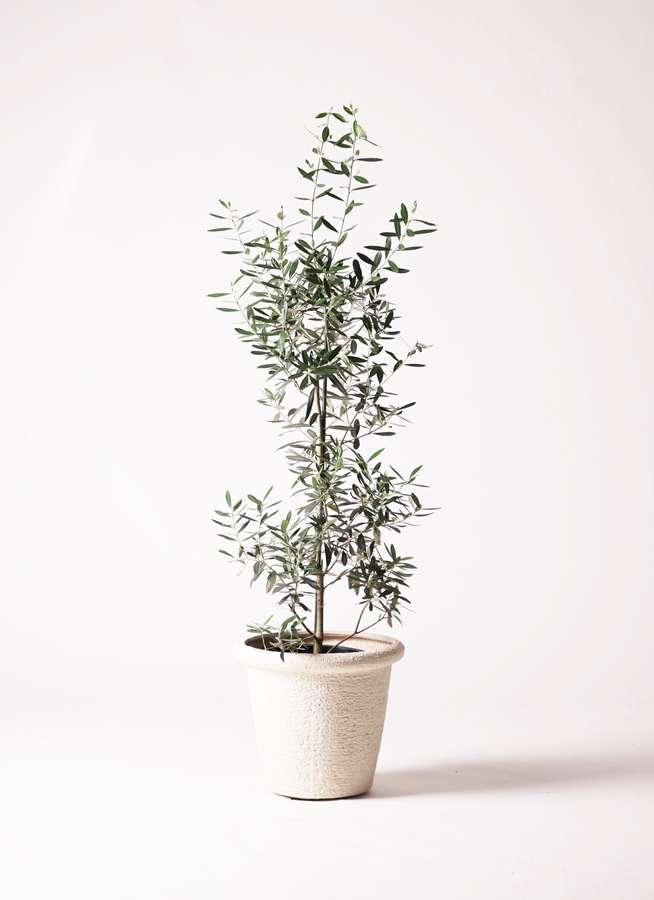 観葉植物 オリーブの木 8号 チプレッシーノ ビアスリムス 白 付き