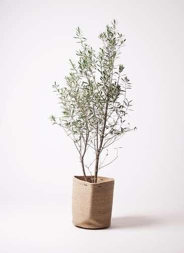 観葉植物 オリーブ 10号 チプレッシーノ リブバスケットNatural 付き