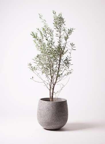 観葉植物 オリーブ 10号 チプレッシーノ エコストーンGray 付き