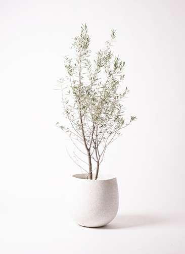 観葉植物 オリーブ 10号 チプレッシーノ エコストーンwhite 付き