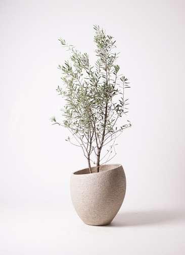 観葉植物 オリーブ 10号 チプレッシーノ エコストーンLight Gray 付き