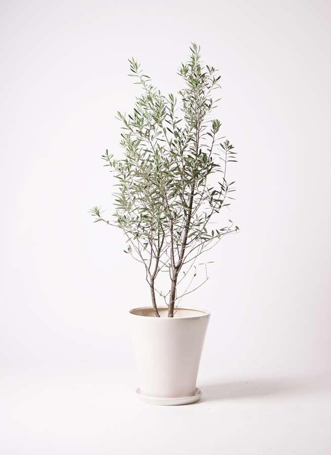 観葉植物 オリーブの木 10号 チプレッシーノ サブリナ 白 付き