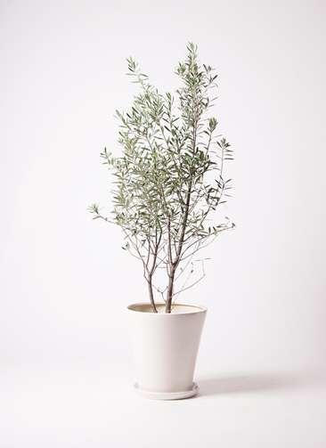 観葉植物 オリーブ チプレッシーノ 10号 サブリナ 白 付き