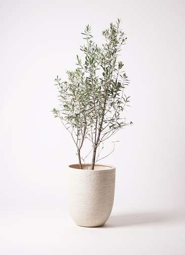 観葉植物 オリーブ チプレッシーノ 10号 ビアスアルトエッグ 白 付き