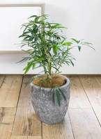 観葉植物 シェフレラ アンガスティフォリア 7号 アビスソニア ミドル 灰 付き
