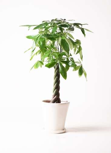 観葉植物 パキラ 8号 サブリナ 白 付き