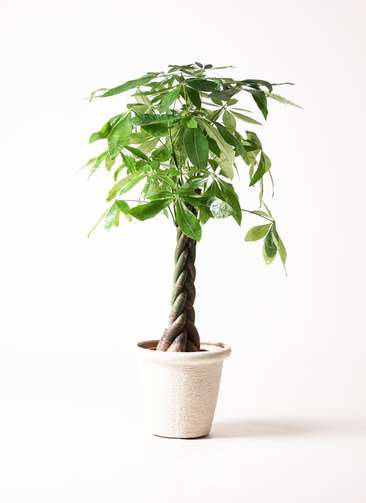 観葉植物 パキラ 8号 ねじり ビアスリムス 白 付き