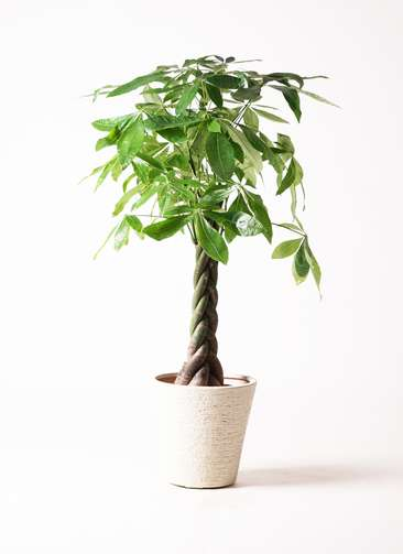 観葉植物 パキラ 8号 ねじり ビアスソリッド 白 付き