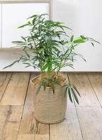 観葉植物 シェフレラ アンガスティフォリア 7号 ボサ造り リブバスケットNatural 付き
