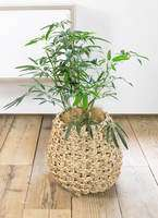 観葉植物 シェフレラ アンガスティフォリア 7号 ボサ造り ラッシュバスケット Natural 付き