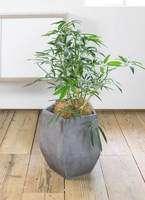 観葉植物 シェフレラ アンガスティフォリア 7号 ボサ造り ファイバークレイGray 付き