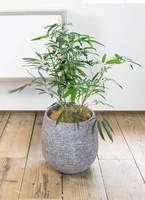 観葉植物 シェフレラ アンガスティフォリア 7号 ボサ造り エコストーンGray 付き