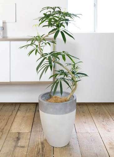 観葉植物 シェフレラ アンガスティフォリア 曲り8号 ファイバーストーン カプリ サンディホワイト 付き