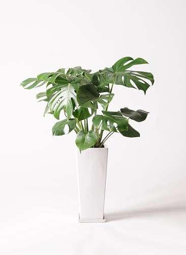 観葉植物 モンステラ 7号 ボサ造り 角高陶器