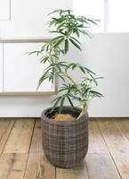 観葉植物 シェフレラ アンガスティフォリア 曲り8号ウィッカーポット エッグ NT 茶 付き
