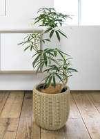 観葉植物 シェフレラ アンガスティフォリア 曲り8号ウィッカーポット エッグ NT ベージュ 付き