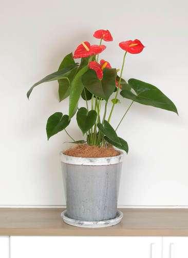 観葉植物 アンスリウム ダコタ 6号 アンティークテラコッタGray 付き