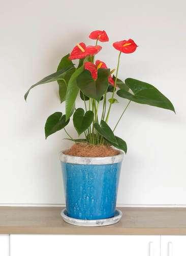 観葉植物 アンスリウム ダコタ 6号 アンティークテラコッタBlue 付き