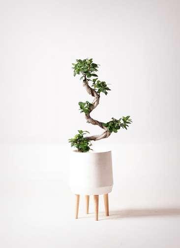 観葉植物 ガジュマル 7号 ファイバークレイ white 付き