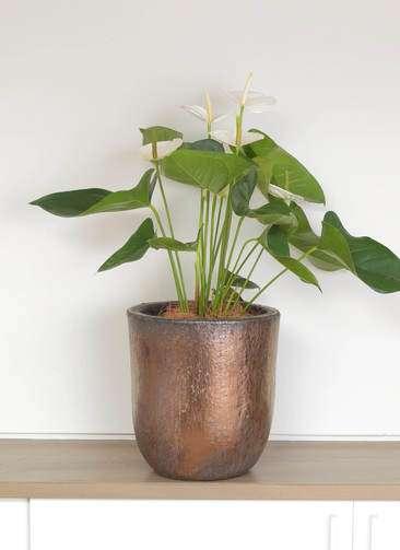 観葉植物 アンスリウム スミ 6号 ビトロ ウーヌム コッパー釉 付き