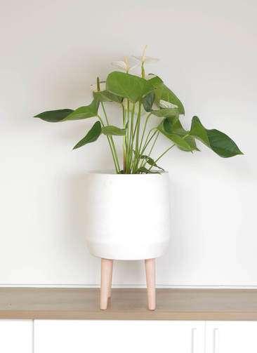観葉植物 アンスリウム スミ 6号 ファイバークレイ white 付き