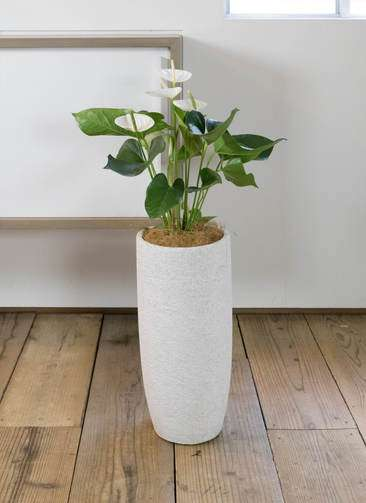 観葉植物 アンスリウム スミ 6号 エコストーントールタイプ white 付き
