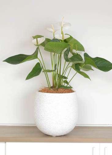 観葉植物 アンスリウム スミ 6号 エコストーンwhite 付き