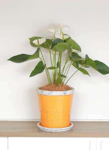 観葉植物 アンスリウム スミ 6号 アンティークテラコッタOrange 付き