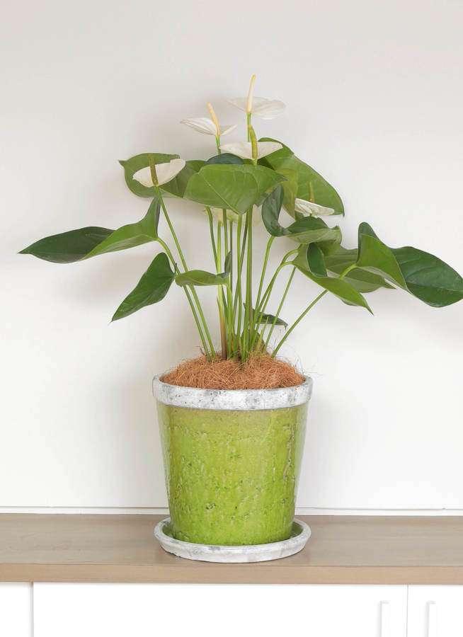 観葉植物 アンスリウム 6号 スミ アンティークテラコッタGreen 付き