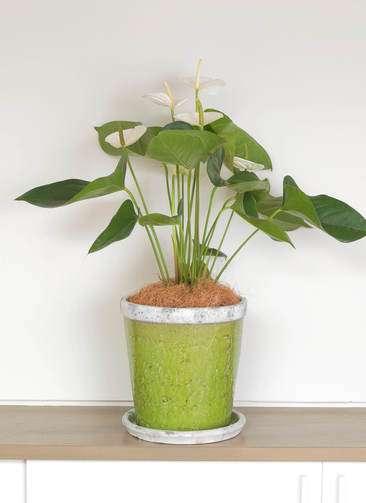 観葉植物 アンスリウム スミ 6号 アンティークテラコッタGreen 付き