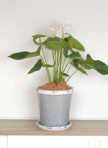 観葉植物 アンスリウム 6号 スミ アンティークテラコッタGray 付き
