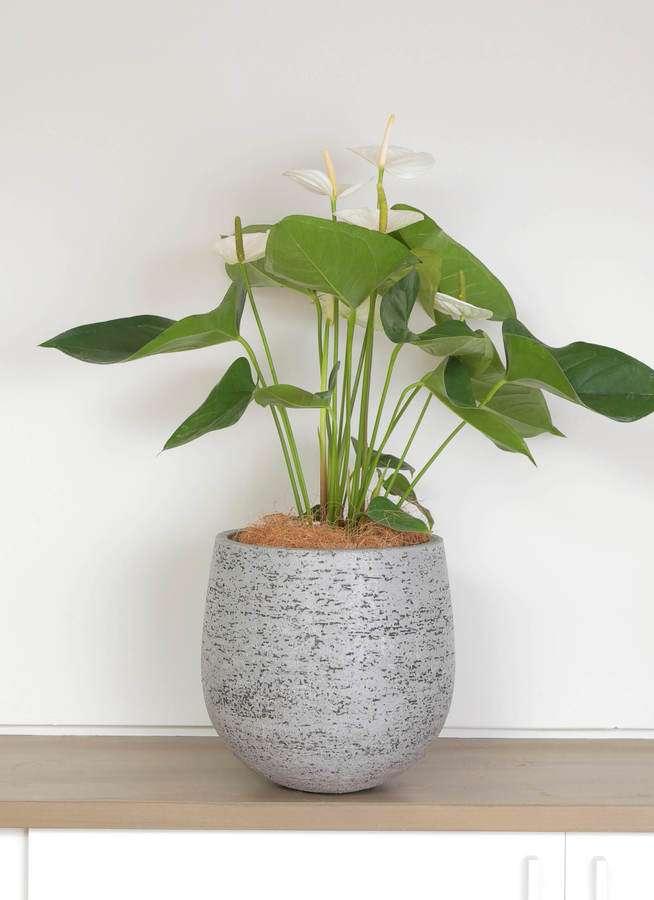 観葉植物 アンスリウム 6号 スミ エコストーンGray 付き