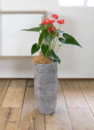 観葉植物 アンスリウム ダコタ 6号 エコストーントールタイプ Gray 付き