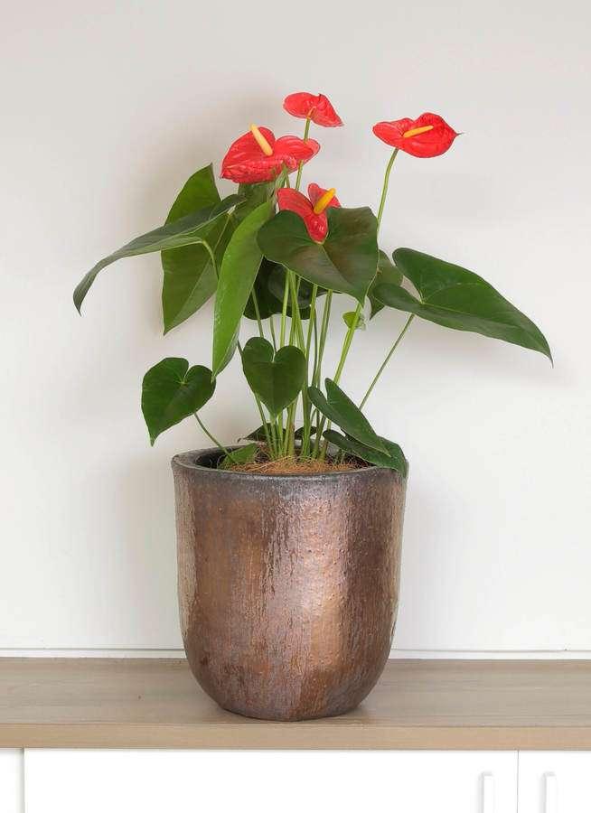 観葉植物 アンスリウム 6号 ダコタ ビトロウーヌム コッパー釉 付き