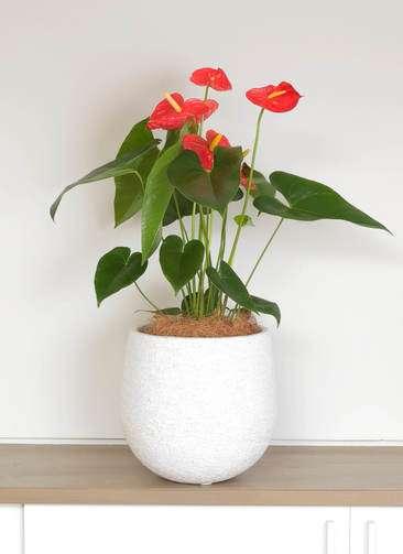 観葉植物 アンスリウム ダコタ 6号 エコストーンwhite 付き