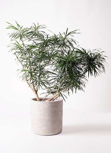 観葉植物 ドラセナ アンガスティフォリア 10号 ボサ造り サンディ シリンダー 白 付き