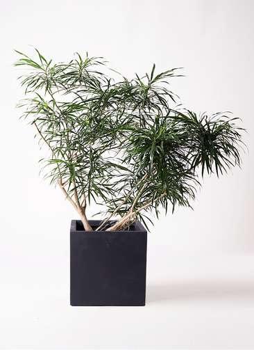 観葉植物 ドラセナ アンガスティフォリア 10号 ボサ造り ベータ キューブプランター 黒 付き