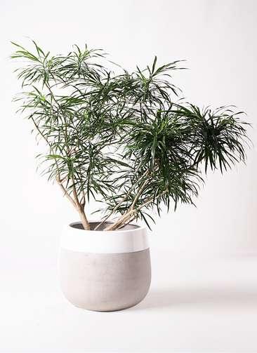観葉植物 ドラセナ アンガスティフォリア 10号 ボサ造り ファイバーストーンタウルス ミドル 白 付き
