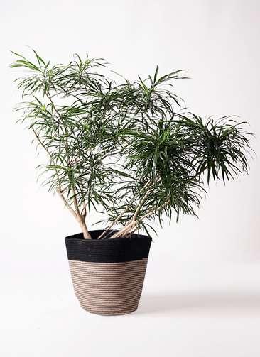 観葉植物 ドラセナ アンガスティフォリア 10号 ボサ造り リブバスケットNatural and Black 付き