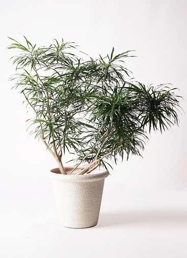 観葉植物 ドラセナ アンガスティフォリア 10号 ボサ造り ビアスリムス 白 付き