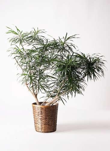 観葉植物 ドラセナ アンガスティフォリア 10号 ボサ造り 竹バスケット 付き