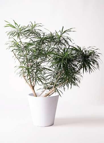 観葉植物 ドラセナ アンガスティフォリア 10号 ボサ造り フォリオソリッド 白 付き