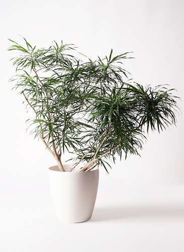 観葉植物 ドラセナ アンガスティフォリア 10号 ボサ造り ラスターポット 付き